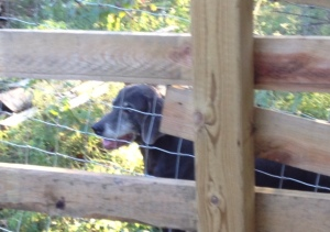 Dixie lurking hopefully outside the barnyard.